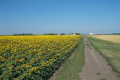 Sunflower Field and Farm